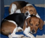Nor Cal Beagle Rescue