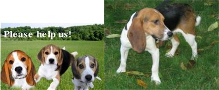 Northern California Beagle Rescue: Beagles Available for