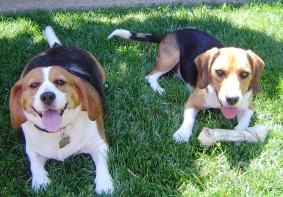 A Beagles Diet Welcome to Northern Ca...